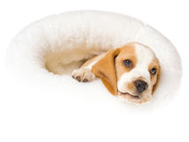 Beagle puppy lying in white fur bed Royalty Free Stock Photo