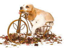 Beagle puppy on mini bicycle Royalty Free Stock Photo