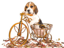Beagle puppy in mini brown bicycle Royalty Free Stock Photo