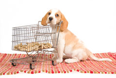 Beagle puppy with mini shopping cart. Cute Beagle puppy with miniature shopping cart and dog biscuits, on white background Royalty Free Stock Photo