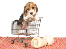Beagle puppy in mini shopping cart Stock Photo