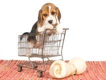 Beagle puppy in mini shopping cart. Cute Beagle puppy inside miniature shopping cart with huge bone, on white background Stock Photo