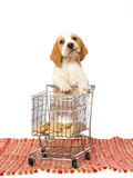 Beagle puppy with mini shopping cart Stock Photo