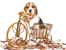 Beagle puppy in miniature bicycle Royalty Free Stock Photos