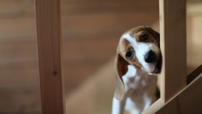 Cute beagle puppy. Beagle puppy nibbles the stairs stock footage