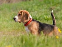 Beagle puppy outdoor shoot stock photos