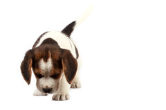 Beagle puppy Royalty Free Stock Photos