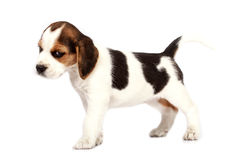 Beagle puppy Royalty Free Stock Photography