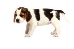 Beagle puppy Royalty Free Stock Photography