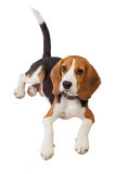 Beagle puppy over white background Royalty Free Stock Images