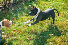 Beagle puppy playing with a puppy of a Staffordshire Terrier in the autumn Park. Eastern Europe royalty free stock photos
