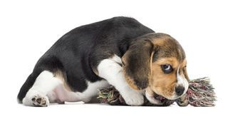 Beagle puppy playing with a rope toy, isolated. On white stock photos
