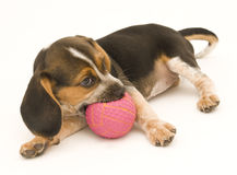 Beagle Puppy Playing with Rubber Ball Stock Photo