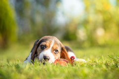 Beagle puppy playing with toy Royalty Free Stock Photo