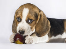 Beagle puppy with plum Royalty Free Stock Photos