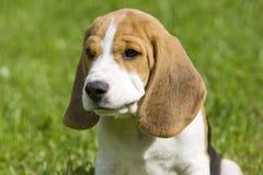 Beagle Puppy Portrait royalty free stock photo