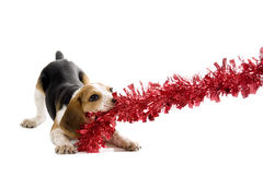 Beagle Puppy pulling on a Christmas Decoration Stock Image
