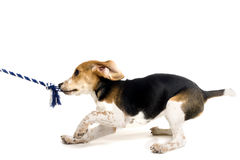 Beagle puppy pulling on a rope stock images