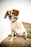 Beagle puppy raising paw Royalty Free Stock Photography