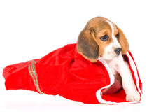 Beagle puppy in red christmas gift bag Stock Photos