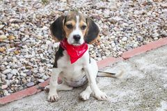 Beagle puppy with a red Handkerchief. Beagle puppy dog with a red handkerchief around the neck in a playground Stock Photography