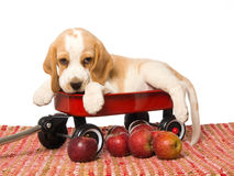 Beagle puppy in red wagon with apples. Cute Beagle puppy lying in mini red wagon with red apples on red woven rug, on white background Stock Photography