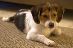 Beagle Puppy. A relaxed beagle puppy laying on a carpeted floor Royalty Free Stock Images