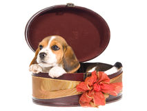 Beagle puppy in round gift box Stock Photos