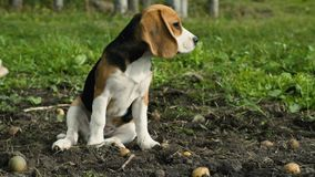 Beagle puppy in a row with fresh potatoes stock footage