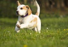Beagle puppy run Stock Photo