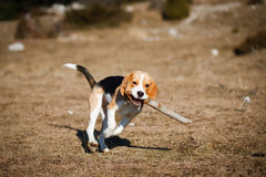 Beagle puppy running. Small 8 months Beagle puppy running with a big peace of wood in her mouth stock photography