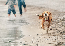 Beagle puppy running on the sea beach Stock Images