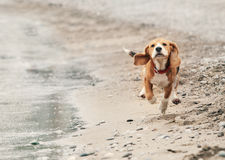 Beagle puppy running on the sea beach Royalty Free Stock Photography