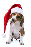Beagle puppy in santa red hat royalty free stock images