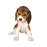 Beagle puppy Royalty Free Stock Image