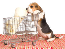 Beagle puppy with shopping trolley. Beagle puppy with mini shopping cart and large bone, on white background Stock Photos