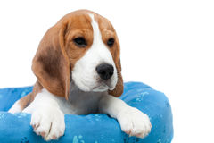 Beagle puppy sitting Royalty Free Stock Image