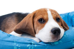 Beagle puppy sitting Stock Photography