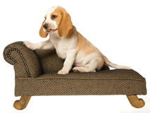 Beagle puppy sitting on brown mini couch Royalty Free Stock Images