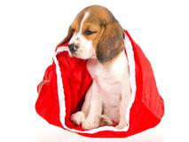 Beagle puppy sitting inside red christmas bag Royalty Free Stock Photo