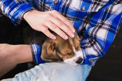 Beagle puppy sleep in hands. And a man caresses the sleeping puppy Stock Image