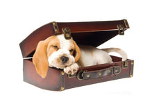 Beagle puppy sleeping in brown suitcase Royalty Free Stock Photos