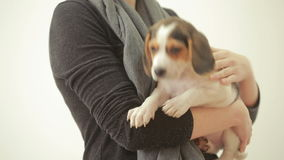 Beagle puppy sleeping on the female hands stock video footage