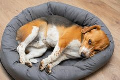 Beagle puppy sleeping at home stock images