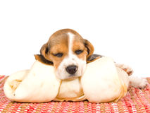 Beagle puppy sleeping on huge bone Stock Images