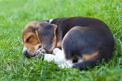 Beagle puppy sleeping stock photos