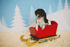 Beagle puppy in a sleigh. A beagle puppy ready for Christmas Royalty Free Stock Images