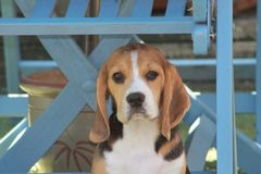 Beagle puppy tri-colour stock photos