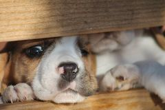 Beagle Puppy. Tugging curtain on Gazebo for fun stock photography