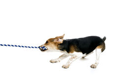 Beagle puppy Tugging on a rope. This image shows a beagle puppy pulling on a rope royalty free stock image